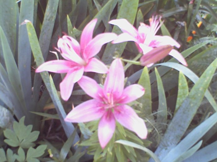 Pink lilies in full bloom in our front yard.