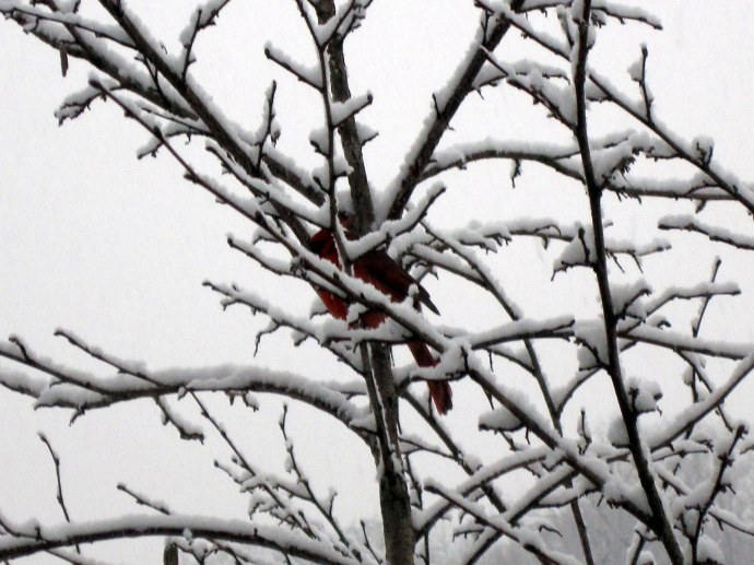 Cardinal in the snow-frosted hazel tree.