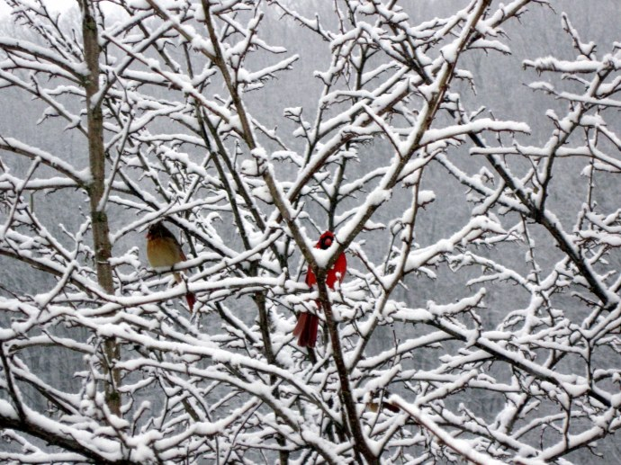 A cardinal couple in the snow-frosted hazel tree in the side yard.