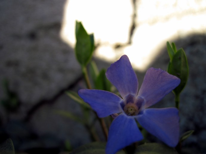 One of the first three periwinkles of spring in the flowerbed in front of our porch.