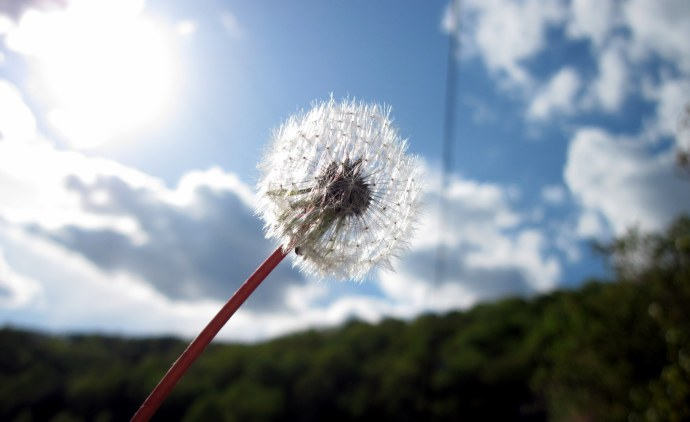 A dandelion gone to seed, held up to the light.