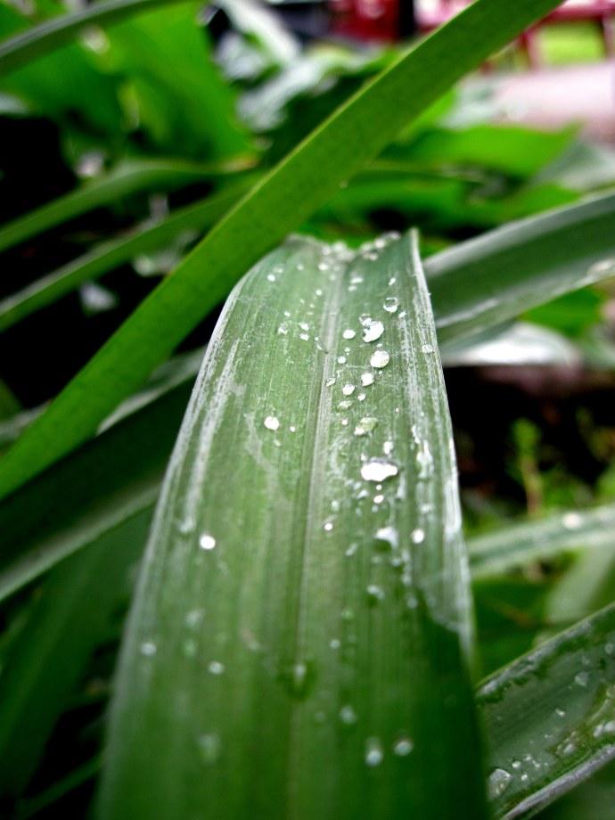 Raindrops on a long leaf