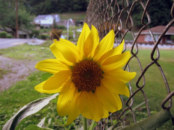 Volunteer sunflower in our fenceline. Canon PowerShot A 1100 IS. Taken 7/15/10.