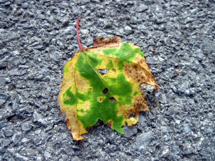 One of the first fallen leaves. Taken 8/1/2010, Canon PowerShot A 1100 IS.