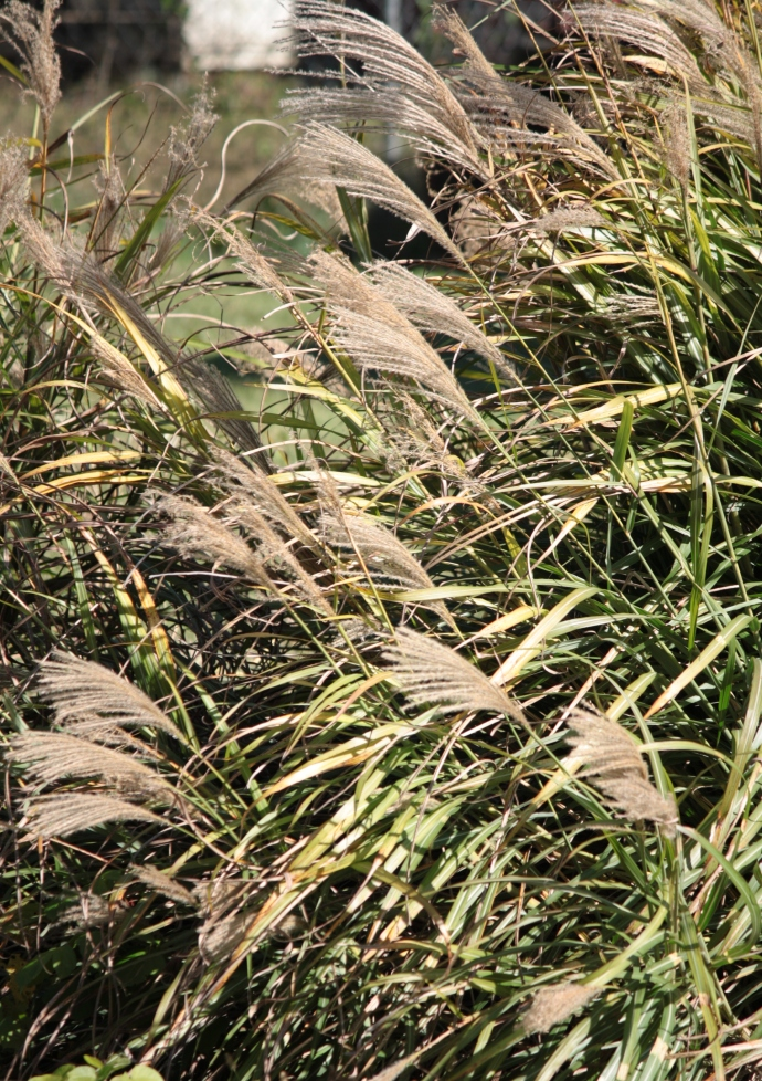 Pampas grass in the wind. Canon Rebel XS & EF-S 55-250 mm IS. 10/15/2011