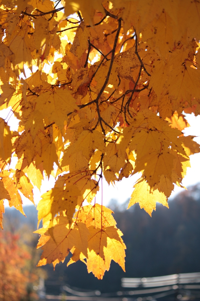 Autumn Leaves and Light: Golden Yellow